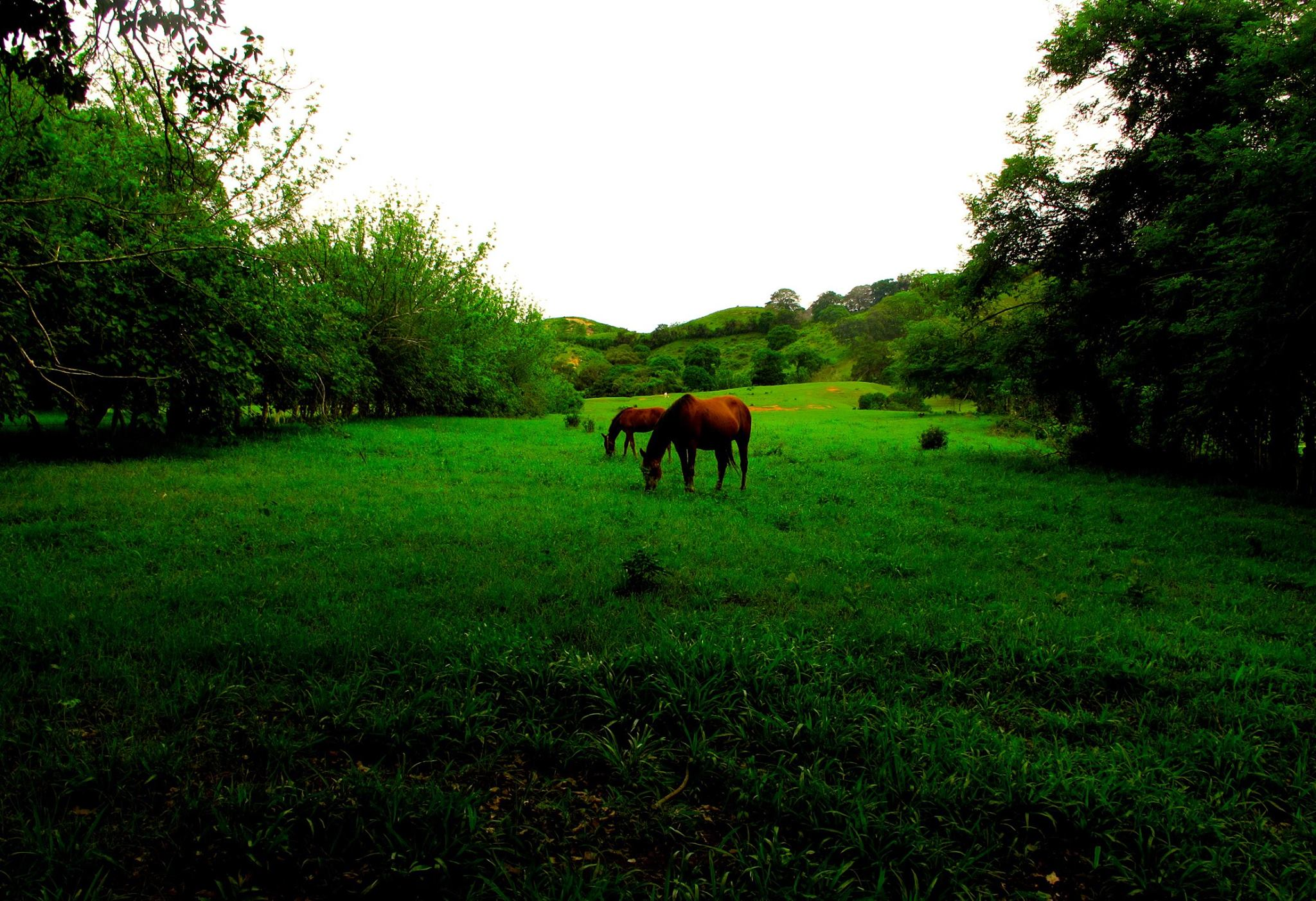 Horses in Panama Meadow