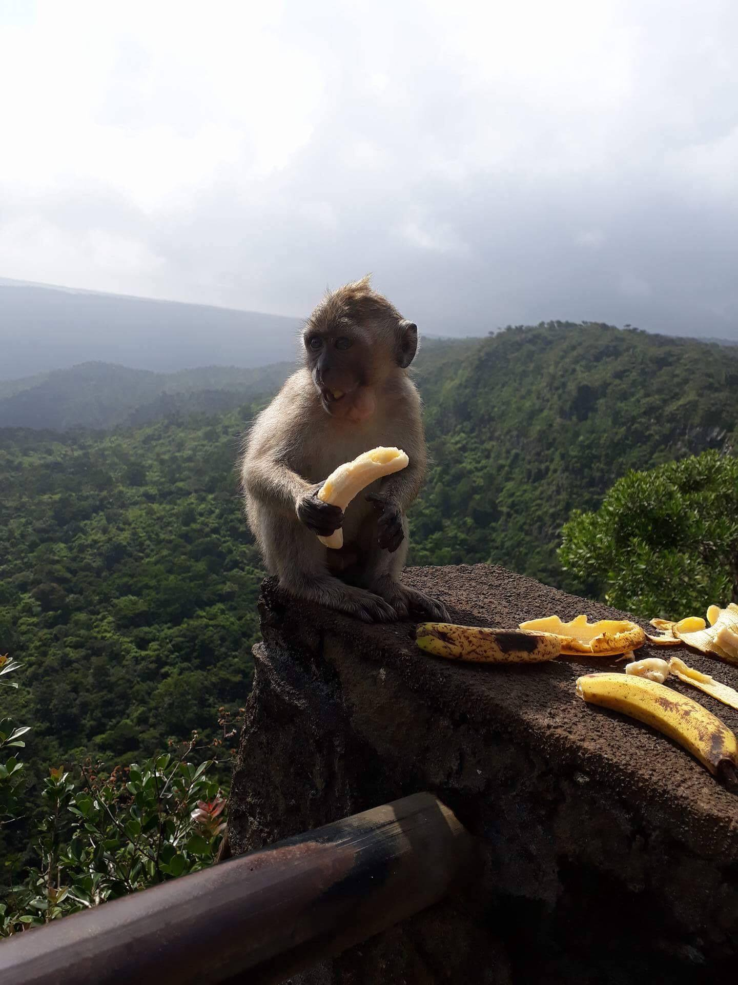 Monkey eating Bananas with forest background